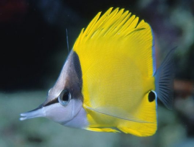 forceps-butterfly-fish