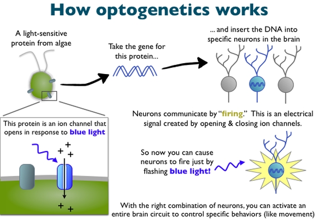 how-optogenetics-works