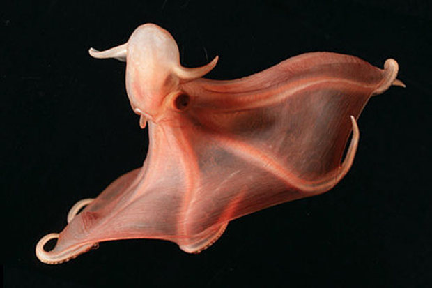 cirrate-octopod-stauroteuthis-syrtensis
