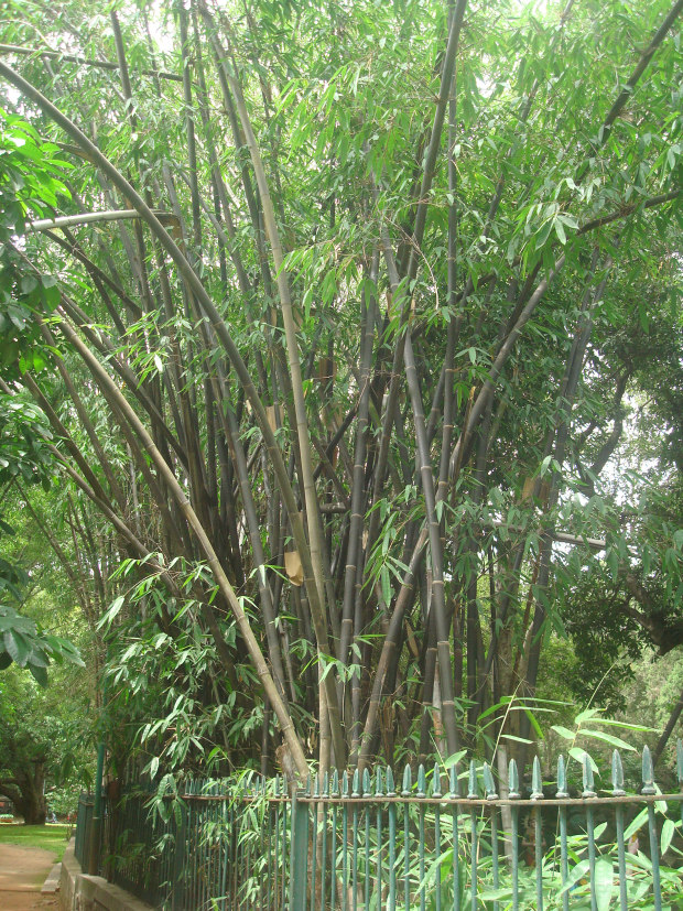 black-bamboo-lal-bagh
