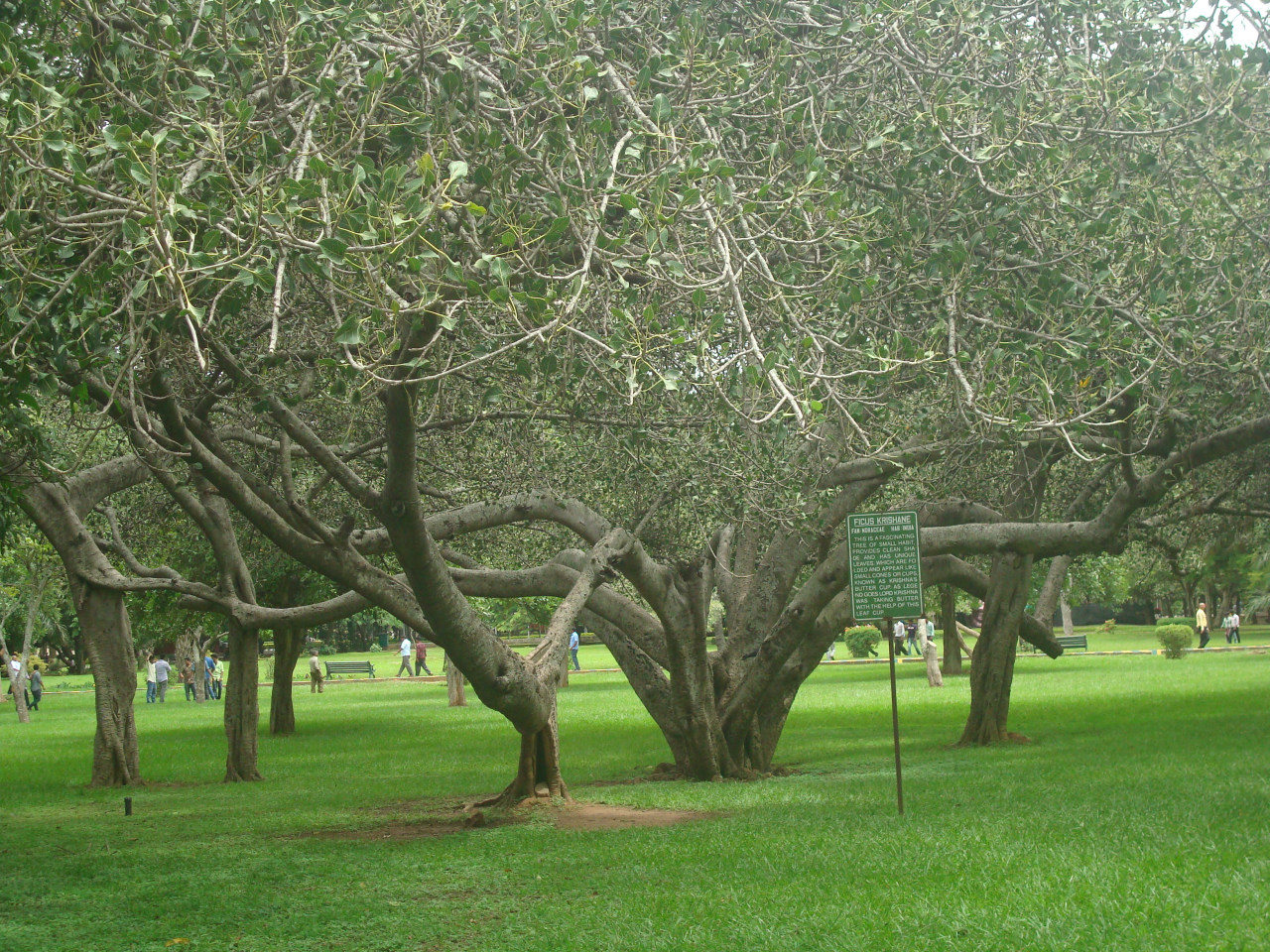 butter-cup-tree-lal-bagh