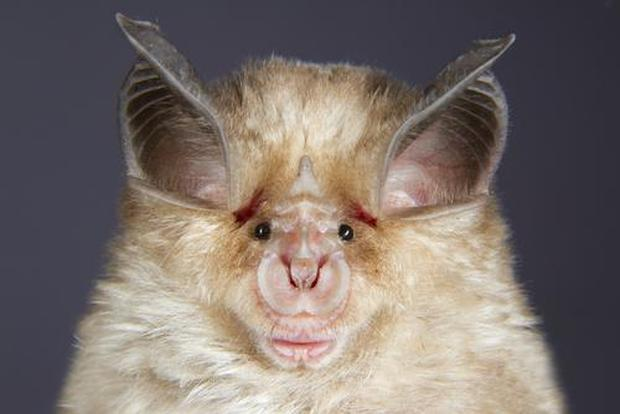 horseshoe-bat-picture