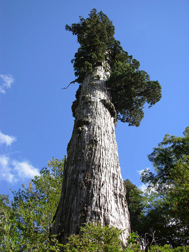 alerce-patagonian-cypress-tree