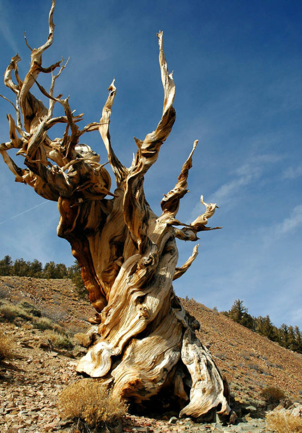 methuselah-pine-tree